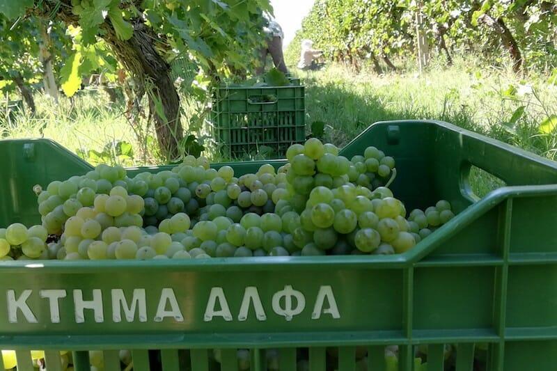 greece wine grape harvest
