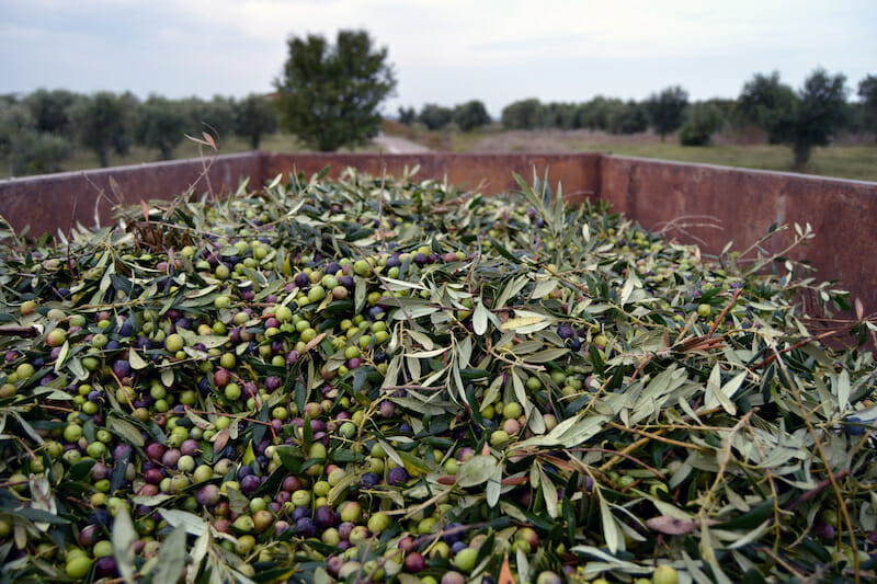 early olive oil barcelona