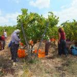 Wine Harvest Week